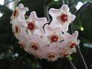En doftrankas blomklase
