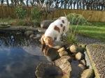 Hälsar på guldfiskarna och passar på dricka vatten